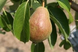 Lucious Pear Tree