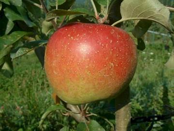 Spitzenburg Apple