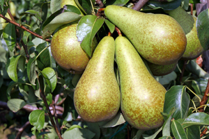 Bosc Pear Tree