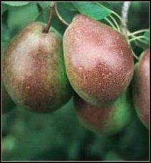 Parker Pear Tree