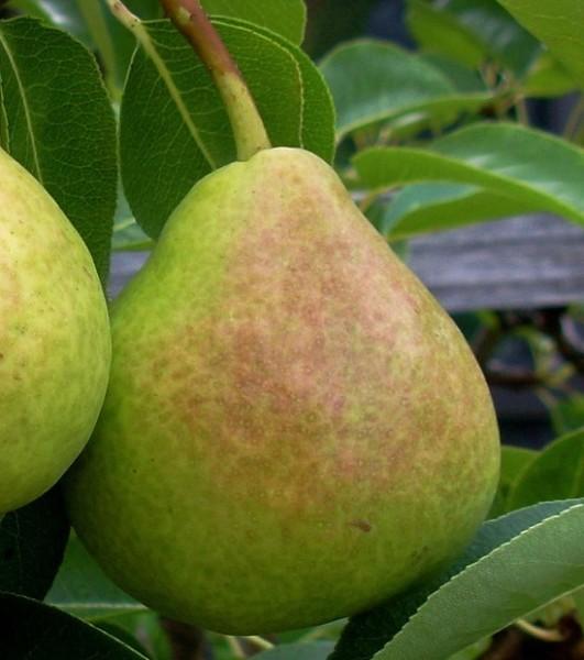 Flemmish Beauty Pear Tree