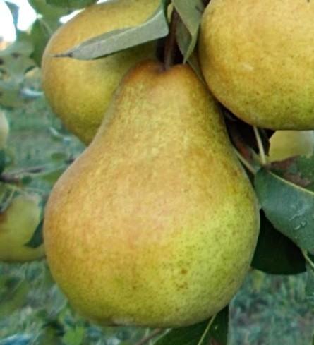 Surecrop Pear Tree