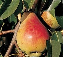 Ubileen Pear Tree