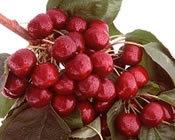 Lapins Cherry Tree