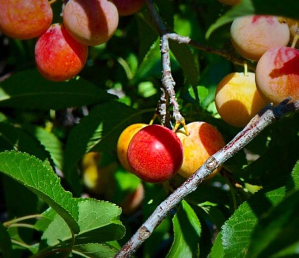 American Plum Tree
