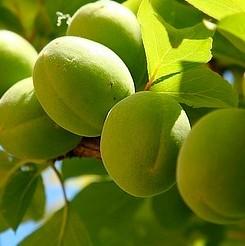 Green Guage Plum Tree