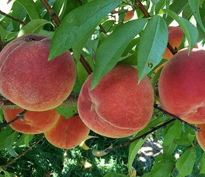Contender peach Tree