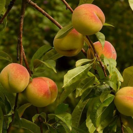Harken Peach Tree