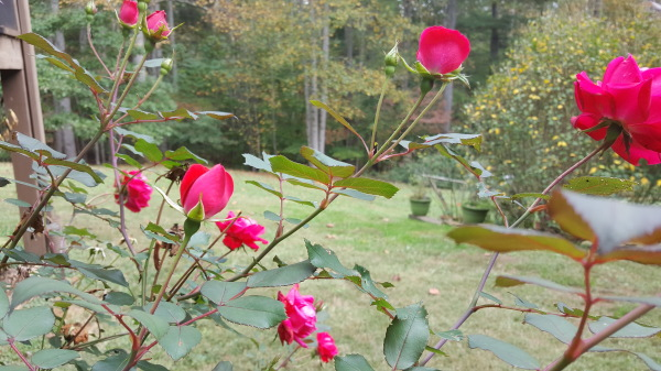 Some roses overlooking the woods