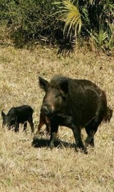 Boar at Keaton Beach Florida