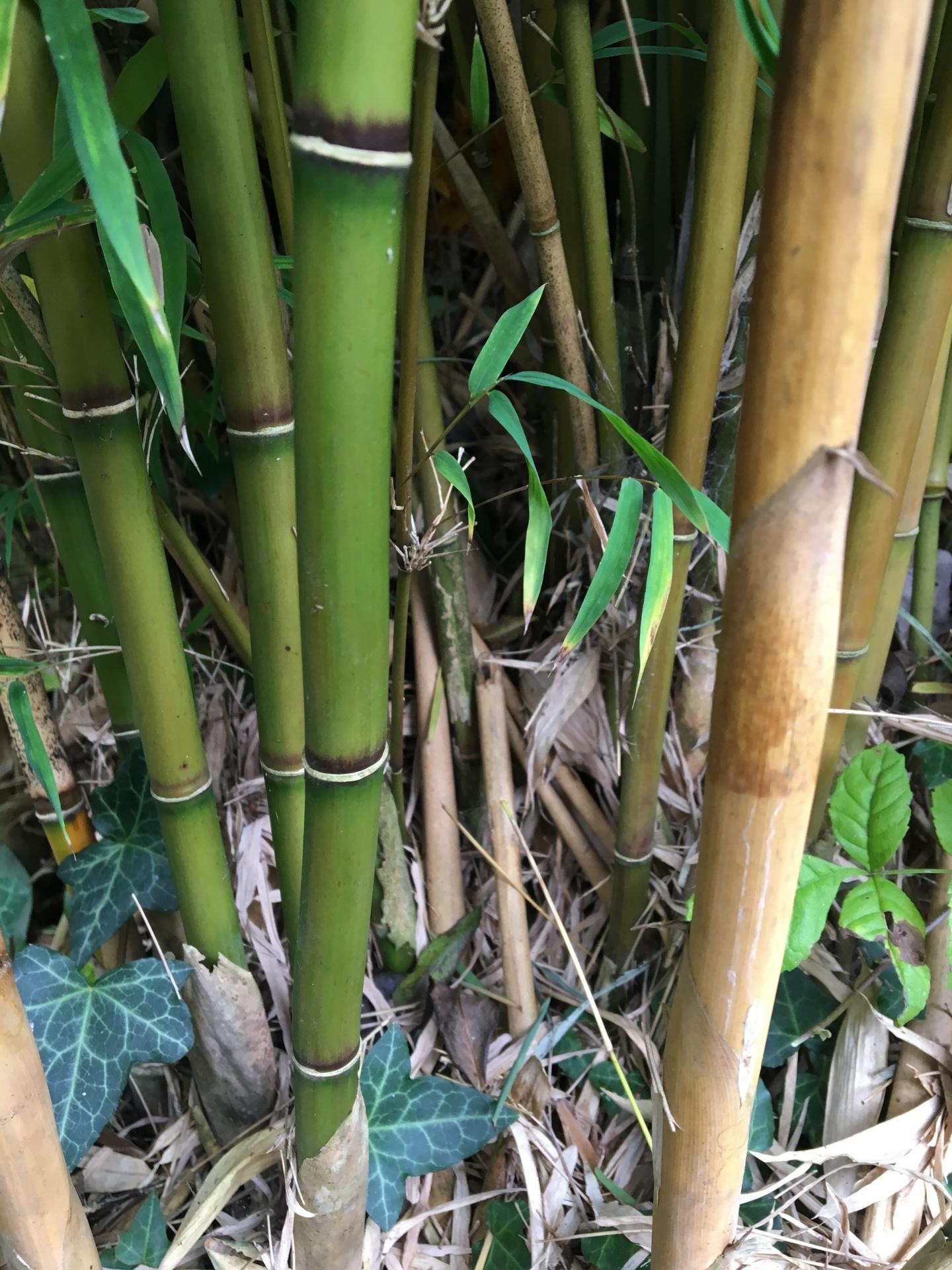 P. bambusoides