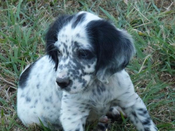 Llewellin pup's