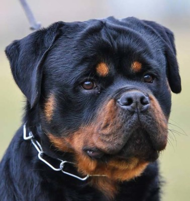 head picture of our rottweiler juda