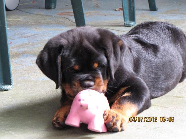 our rottweiler puppies