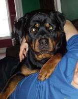 rottweiler sitting with his owner
