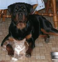 rottweiler sitting with cat
