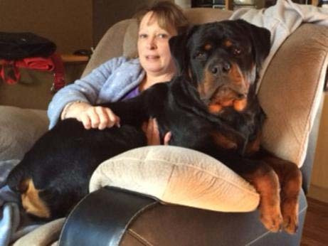 rottweiler sitting with lady in recliner