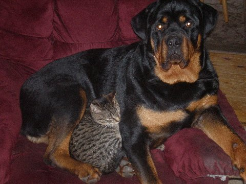 rottweiler laying with cat