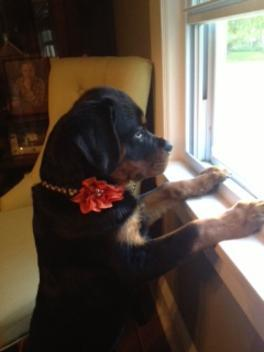 rottweiler looking out of window