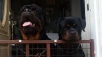 rottweilers standing behind gate