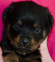 female rottweiler puppy 4 weeks old