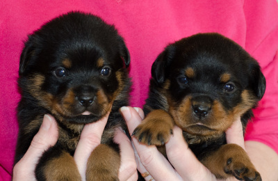2 female rottweiler puppies 4 weeks old
