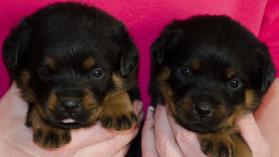 rottweiler female puppies 4 weeks old