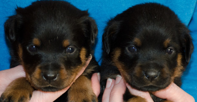 male rottweiler puppies 4 weeks old