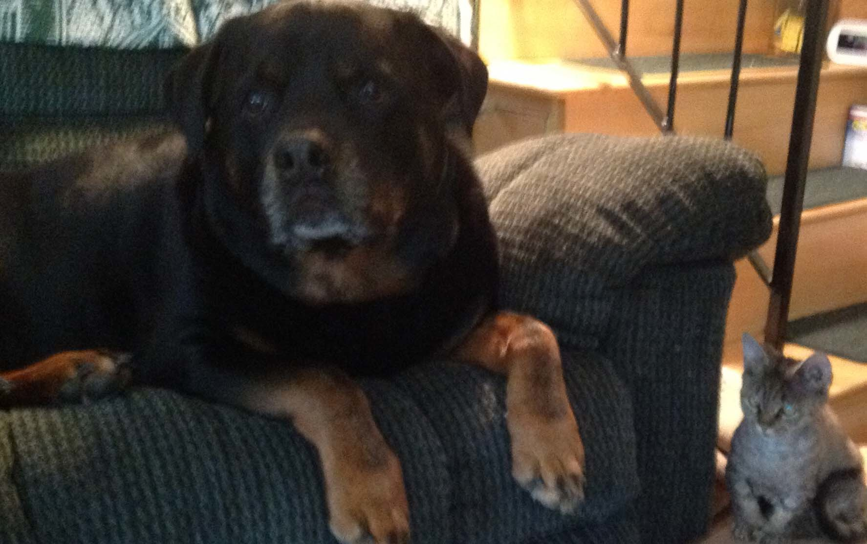 12 year old rottweiler
