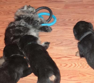rottweiler puppies playing with our cat