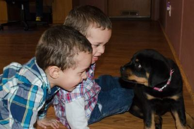 rottweiler puppies playing with our twin grandson's
