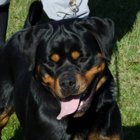 import rottweiler for sale