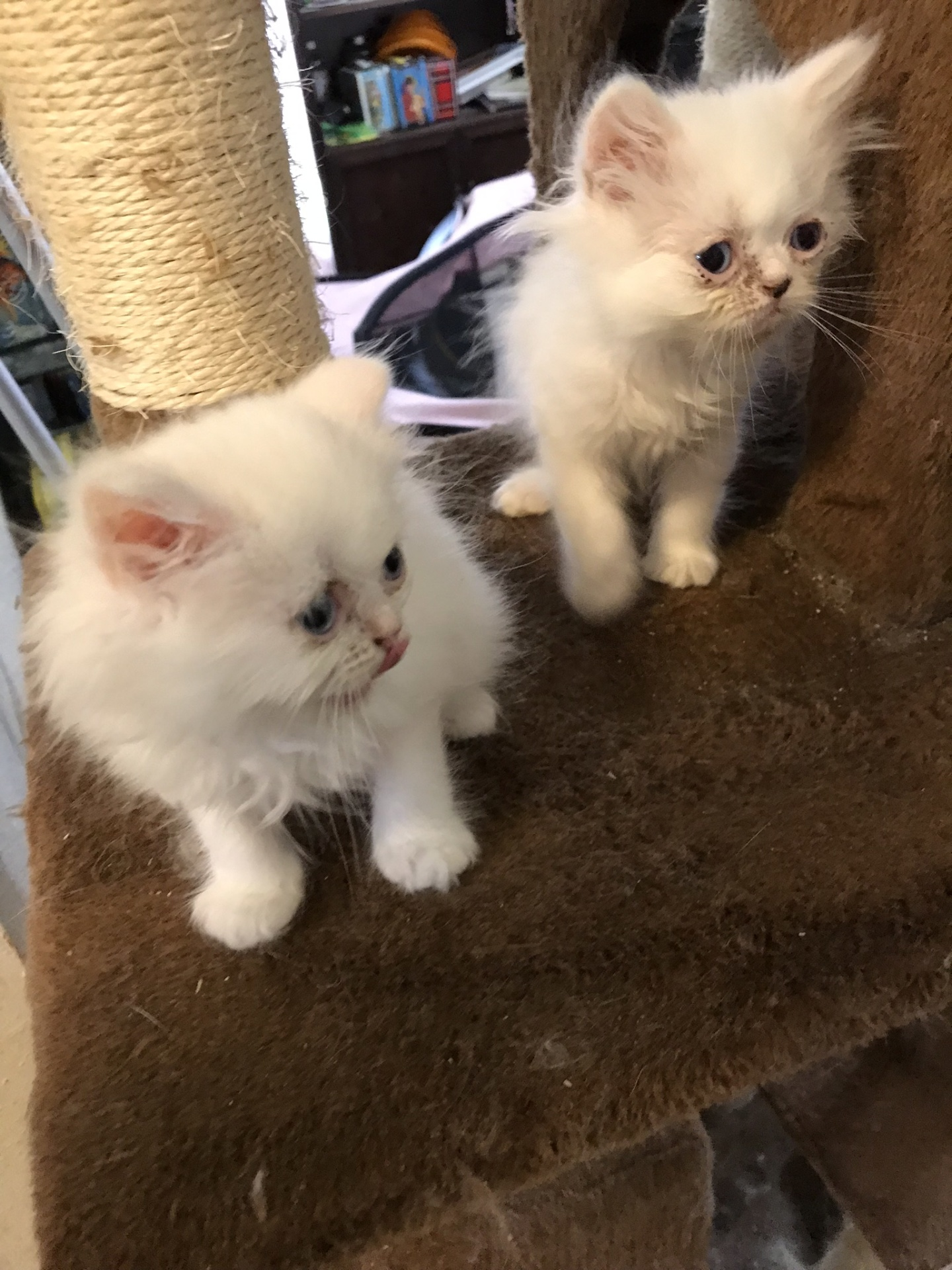 persian kitten kittens cat houston sale