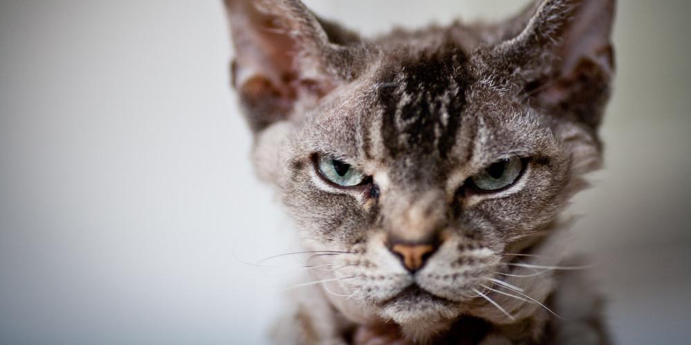 Gato contrariado