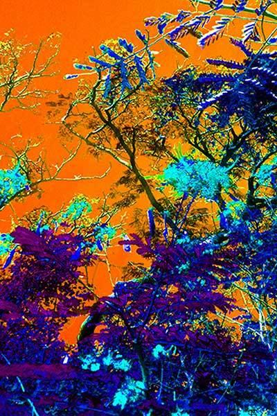 Mimosa Tree 2