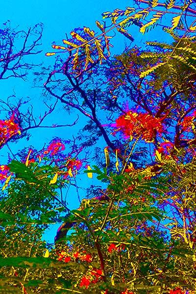 Mimosa Tree 4