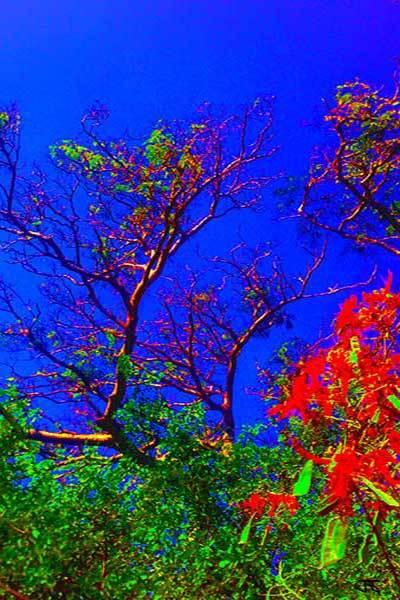 Mimosa Tree 5