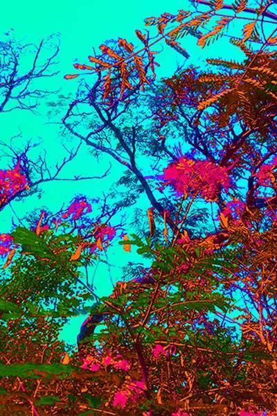 Mimosa Tree 6