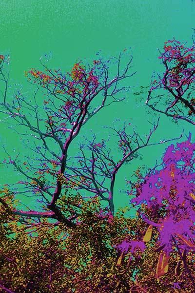 Mimosa Tree 7