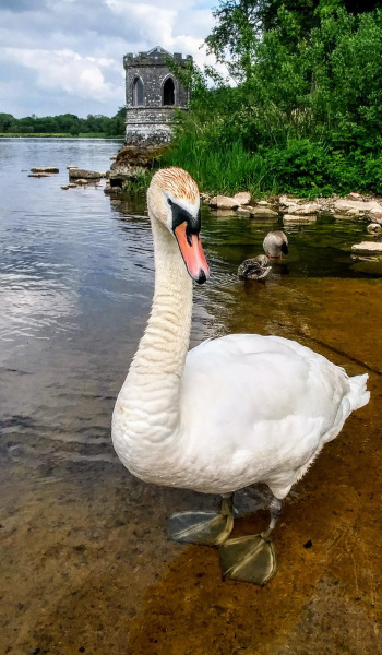 My encounter with a white swan