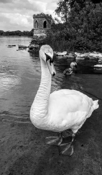 Enchanting swan. Black and white.