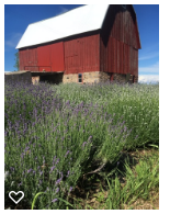 The Big Barn with Lavender