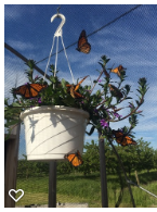 A Basket of Butterflies