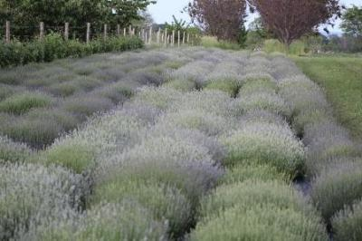 How to Care For your Lavender Plants