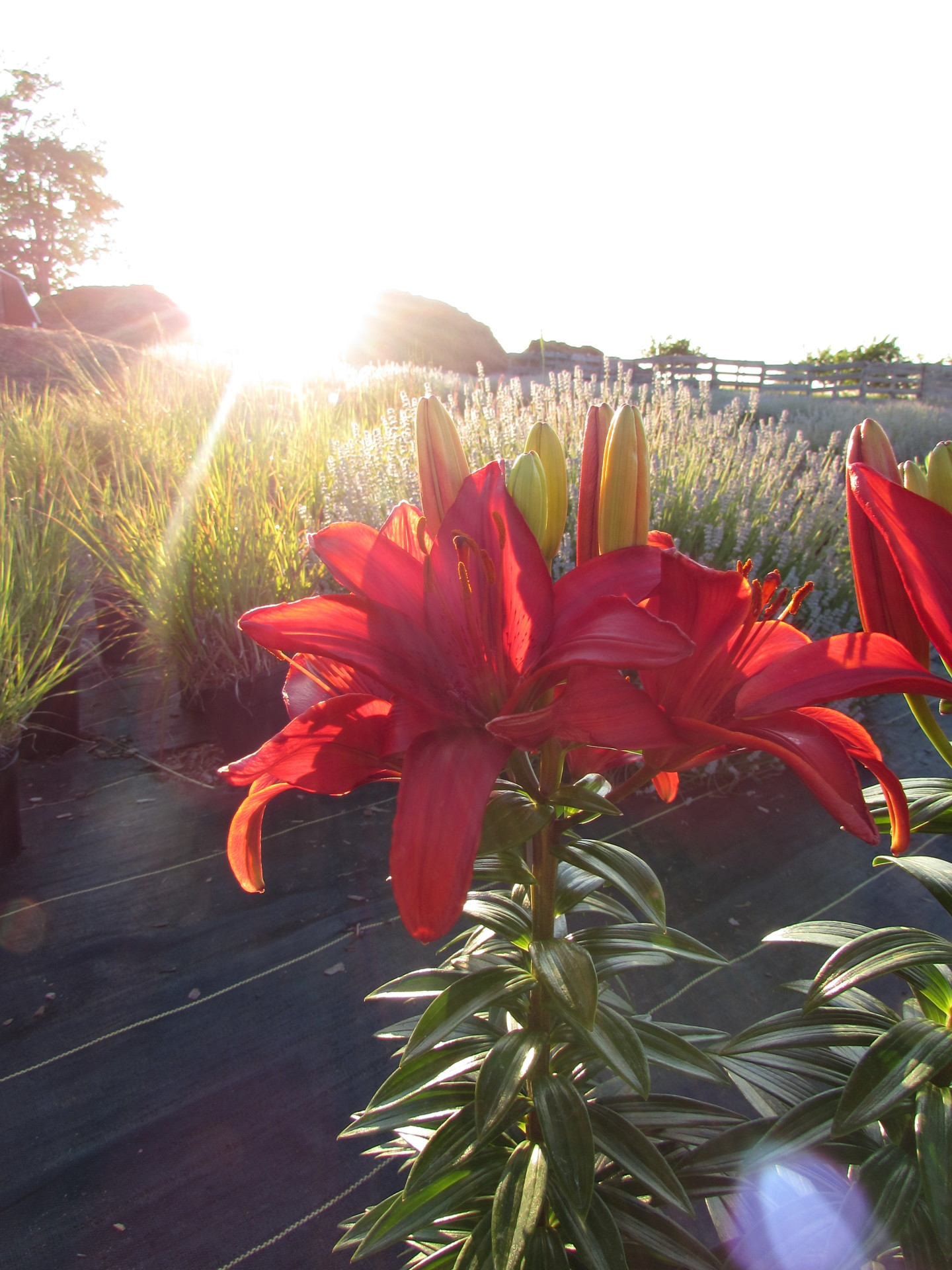 Asiatic Lily at Sunset