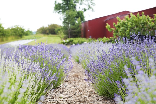 Lavender & Barn