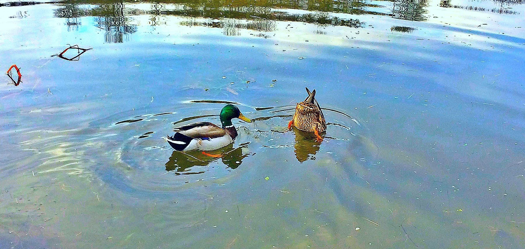 Beautiful-Ducks-Austria---Blue_Luxury_Investments