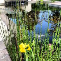 Pool to Pond -horsetail