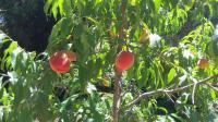 Milliron -peach