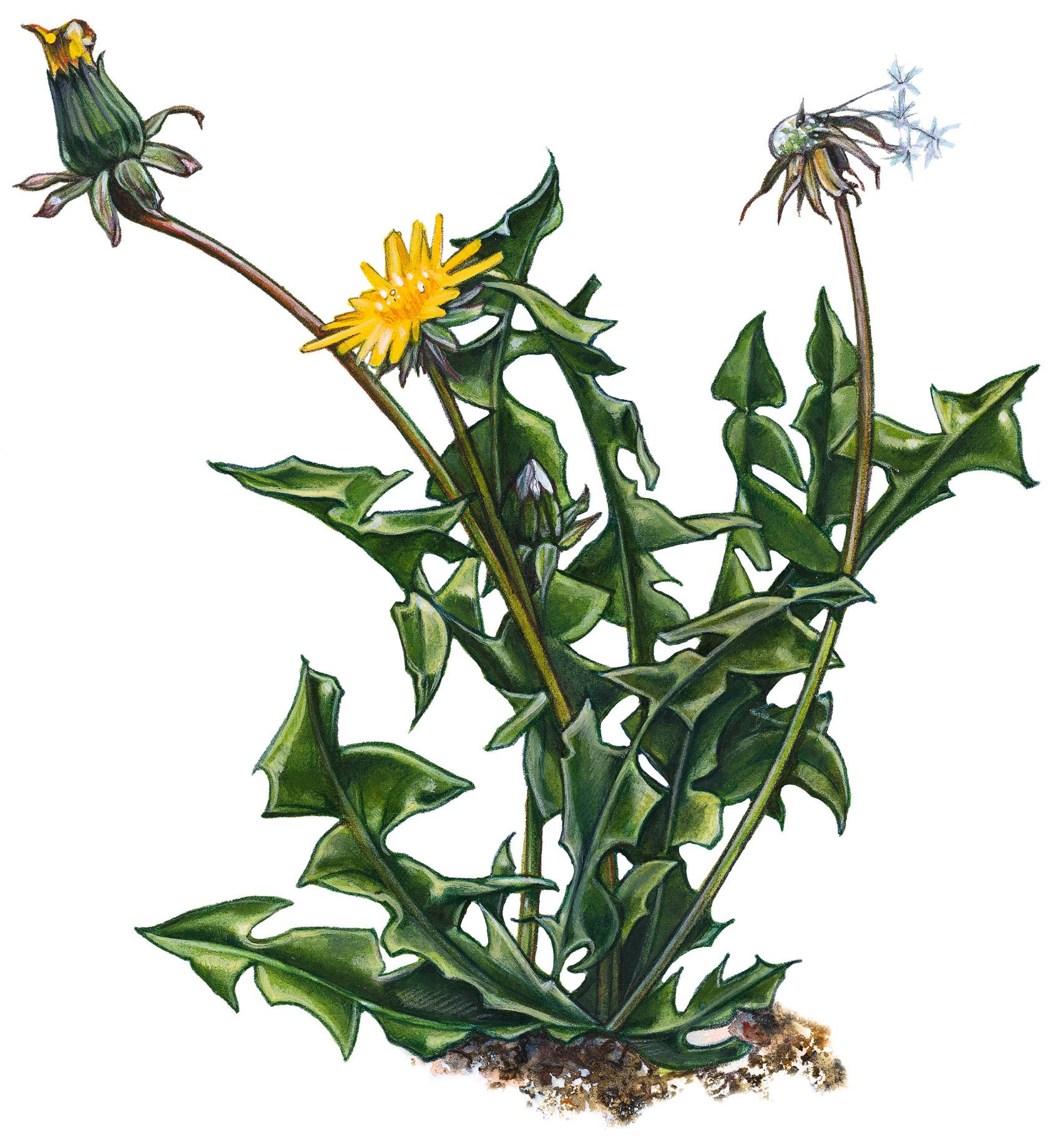 permaculture -dandelion